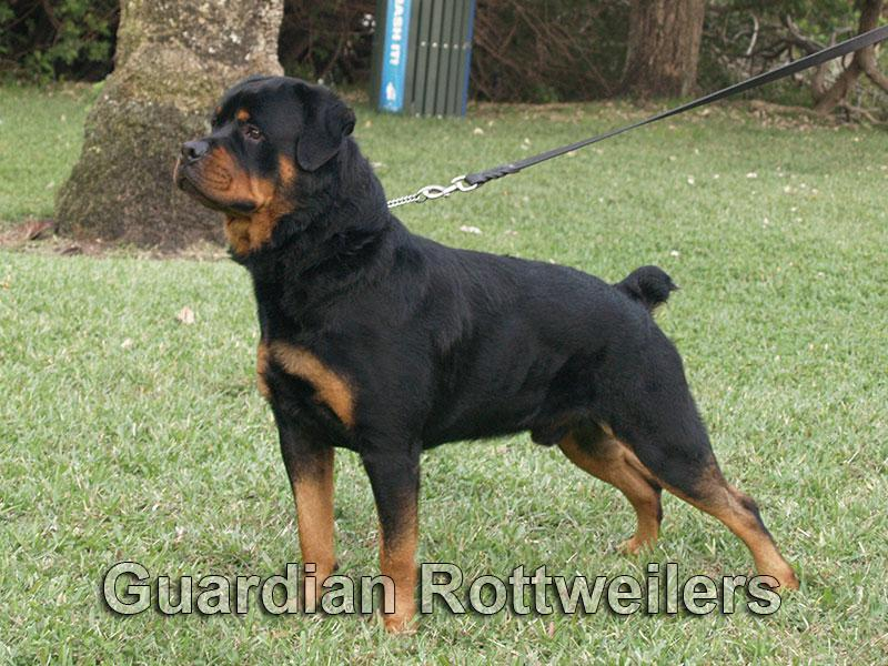 Guardian Rottweilers Polo Rottweiler Puppies Miami