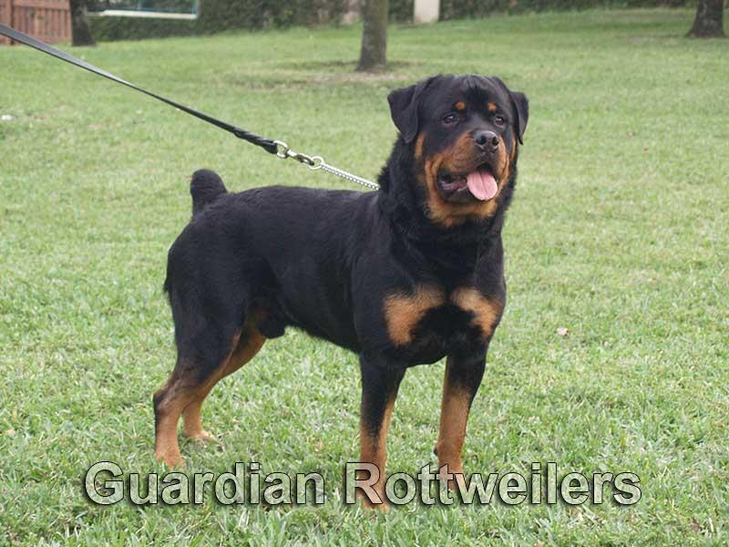 Guardian Rottweilers Polo